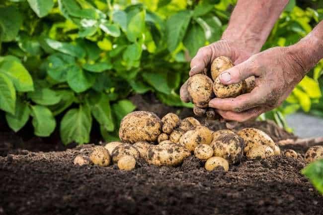Рис. 3. Сбор картофеля