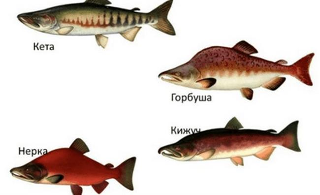Рисунок 3. Лососевые — крупное семейство, состоящее из множества видов