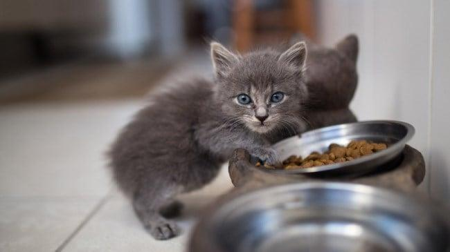 Рисунок 4. Котятам требуется более калорийное питание.