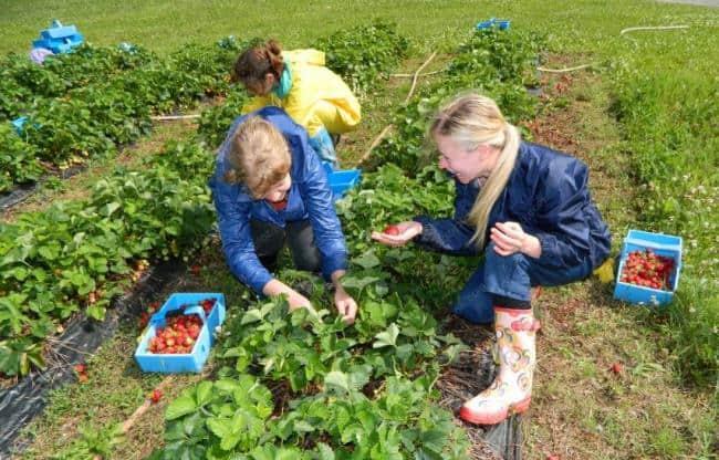 Рисунок 2. Сбор ягод — популярная сезонная работа, за которую можно получить до 1,7 тыс. евро
