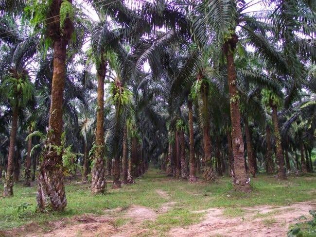 Рисунок 1. Роща масличных пальм
