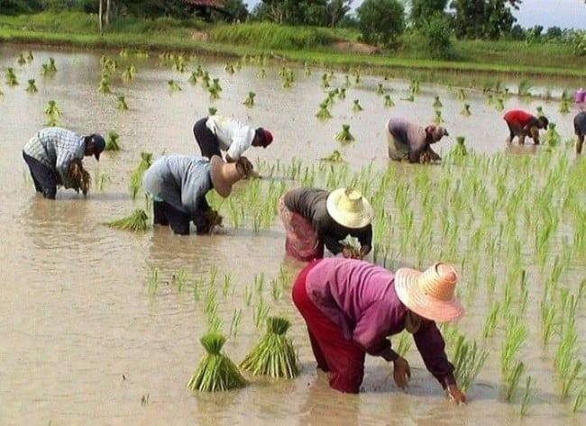 Рис. 2. Рисовые плантации