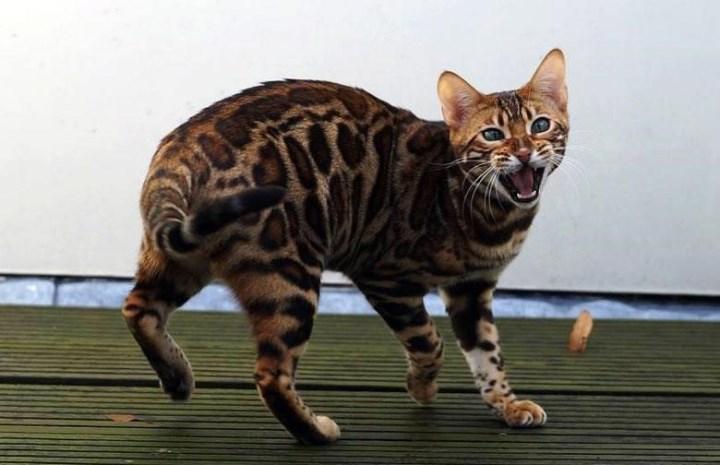Сафари сохранили особенности характера диких кошек