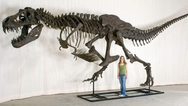 До продажи Стэном мог полюбоваться любой желающий – скелет был выставлен для показа в Рокфеллер-центре в Нью-Йорке.